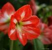 Red Amaryllis Flo...
