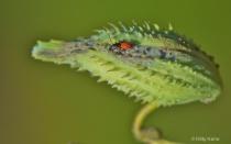 Infant Milkweed Beetle on Milkweed