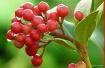 Dewy Berries