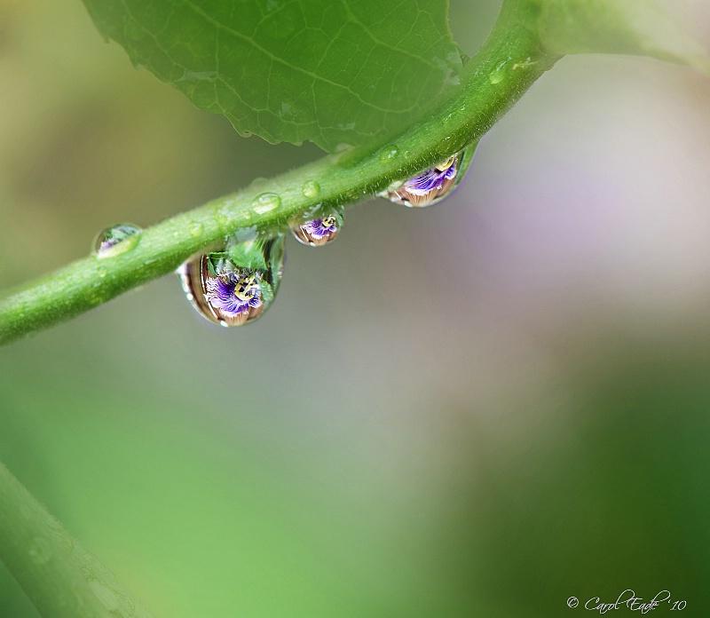 Passion Drops - ID: 10834528 © Carol Eade