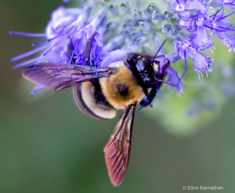 Bees 12 - ID: 10837150 © Elliot S. Barnathan