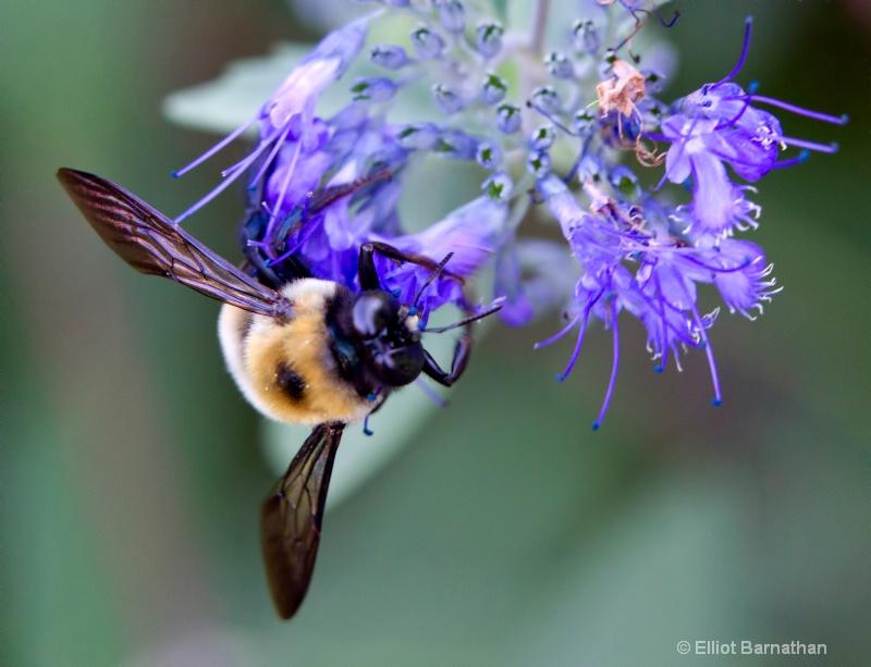 Bees 11 - ID: 10837151 © Elliot S. Barnathan