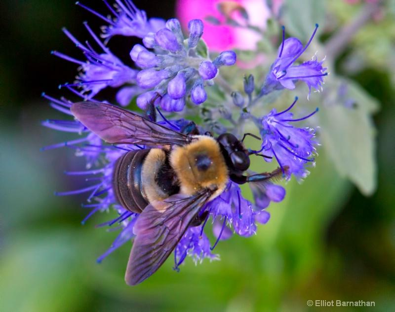 Bees 5 - ID: 10837159 © Elliot S. Barnathan