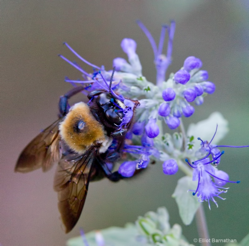 Bees 4 - ID: 10837160 © Elliot S. Barnathan