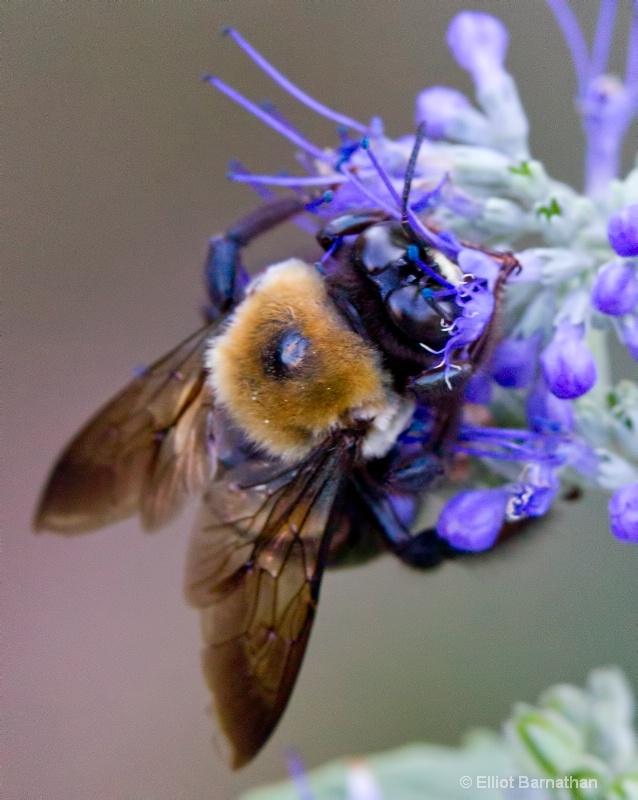 Bees 3 - ID: 10837161 © Elliot S. Barnathan