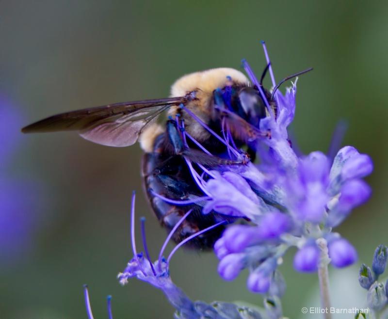 Bees 2 - ID: 10837162 © Elliot S. Barnathan