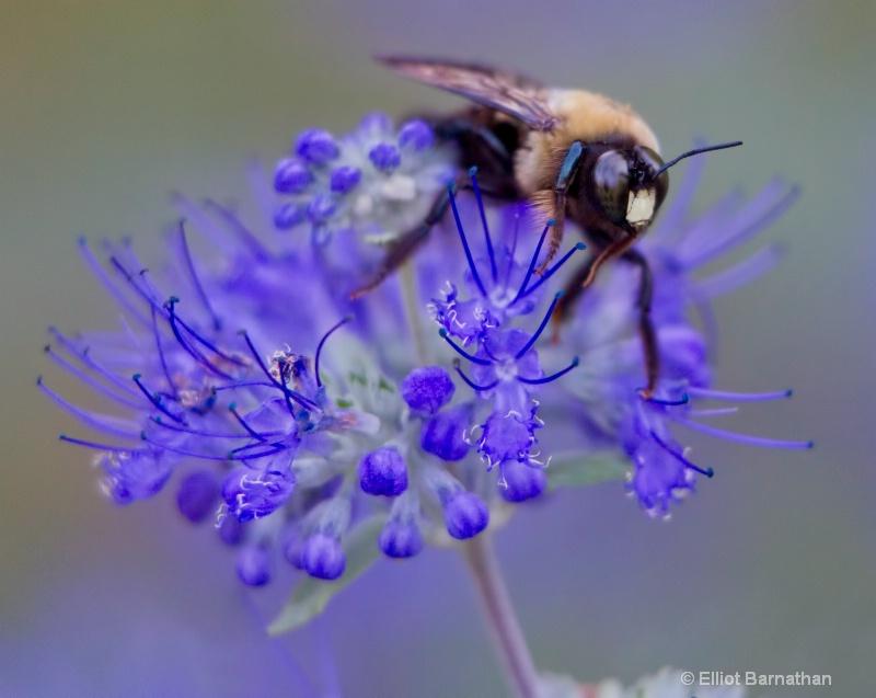 Bees 1 - ID: 10837163 © Elliot S. Barnathan