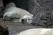 Polar Bear Nap......
