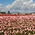 © gwen feasel PhotoID # 10841757: Pink Tulip Field