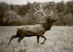 Bull Elk!