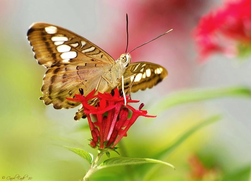 Butterfly Garden - ID: 10855301 © Carol Eade