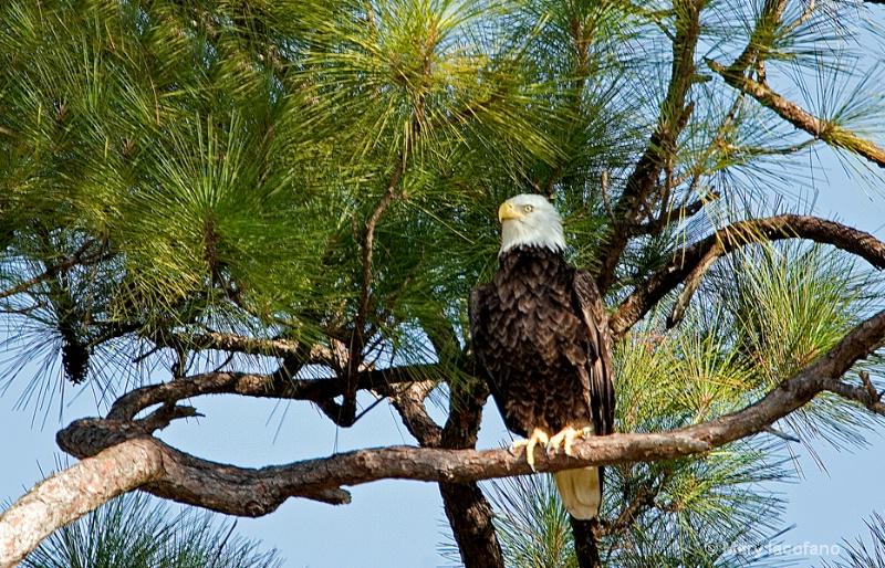 Eagle at Nest - ID: 10877115 © Mary Iacofano