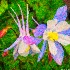 2Columbine As Art - ID: 10878774 © Gary W. Potts