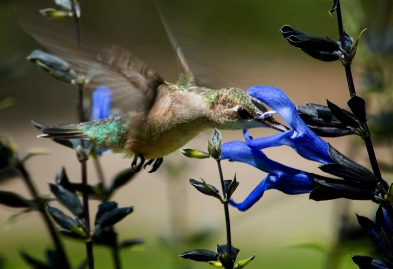 Hummingbird  # 6 - ID: 10889261 © Michael Cenci