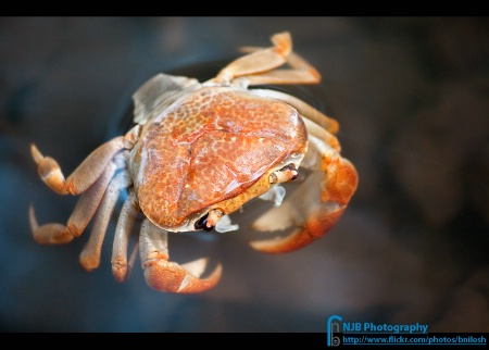 The Floating Crab