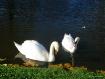 Swans On Lake At ...