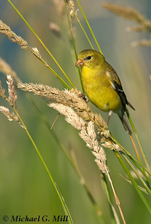 American Goldfinch (female in summer plumage)