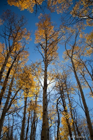 aspen trees  mg 5382