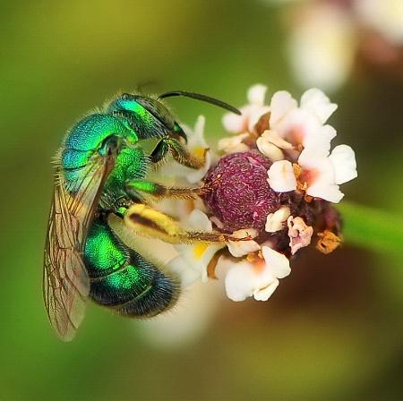 Green Sweat Bee - Metallica 2