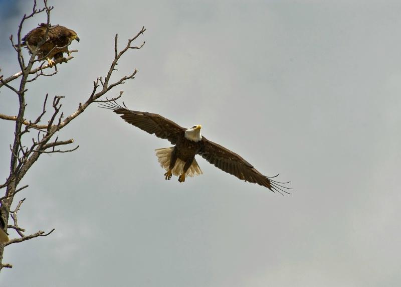 Eagle in Flight - ID: 10956521 © Kelly Pape