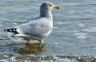 Herring Gull havi...