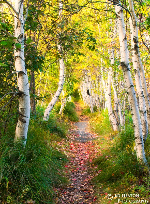 Path of the Birches
