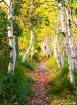 Path of the Birch...