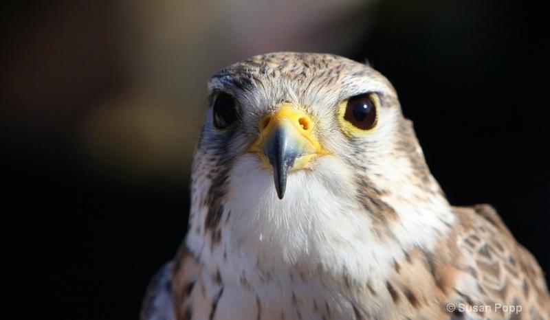Prairie Falcon - ID: 10964734 © Susan Popp