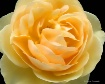 Yellow Rose Ruffl...