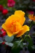 Cloudy day rose.....