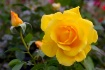 Yellow Rose on a ...