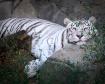 tiger3843f