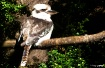 Kookaburra at Abb...