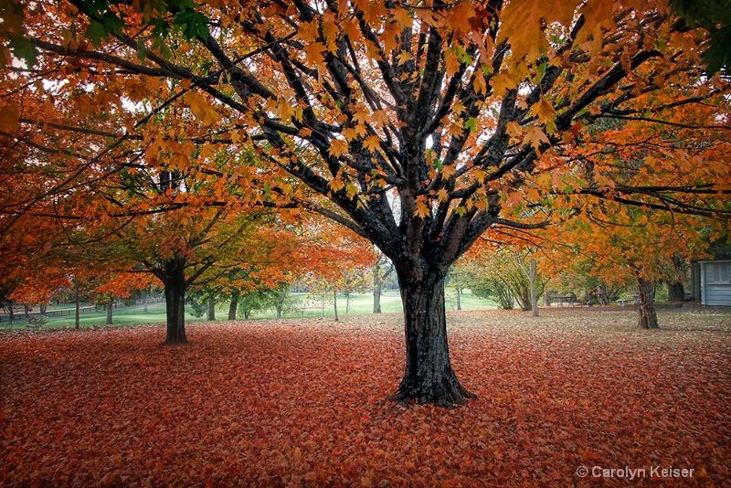 Maple Majesty - ID: 10993785 © Carolyn Keiser