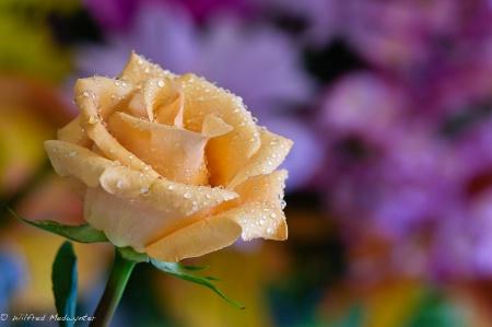 """"""" A Peach Of A Rose"""""""