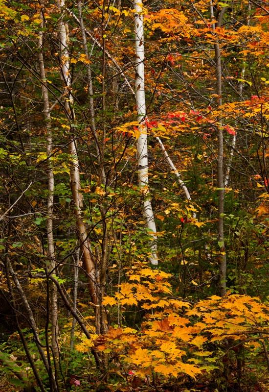 Fall Birches - ID: 11012739 © Gerald L. Tomanek