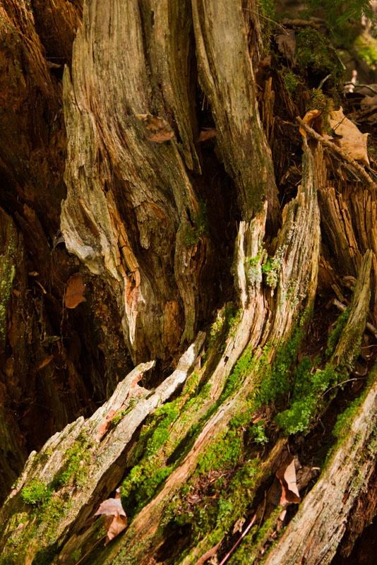 Curving Stump - ID: 11012740 © Gerald L. Tomanek