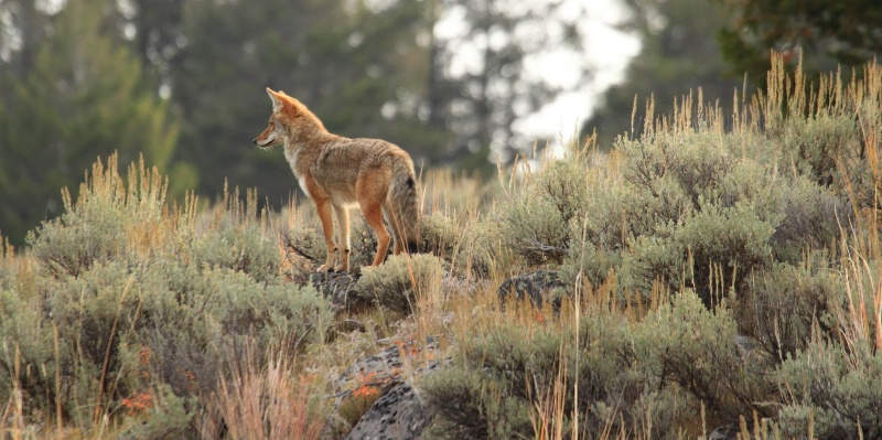 Coyote, Yellowstone N.P., Montana  9.18.10 - ID: 11022075 © Michael S. Couch