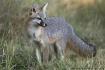 Texas Gray Fox