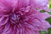 Giant pink dahlia