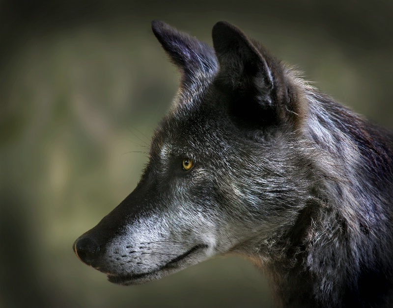 Portrait of a Wolf - ID: 11044766 © Kathy Reeves