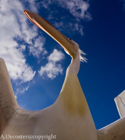 Under the pelican