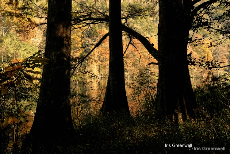 Cypress Trees Silhouettes