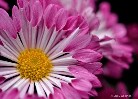 Chrysanthemum Echo