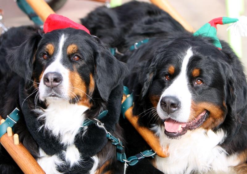 Mountain Dogs - ID: 11076815 © Susan Popp