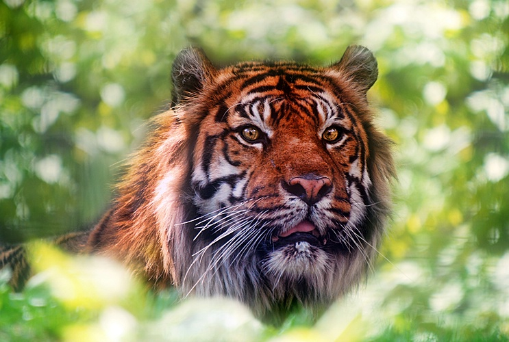 Year of the Tiger - ID: 11078420 © Eric Highfield