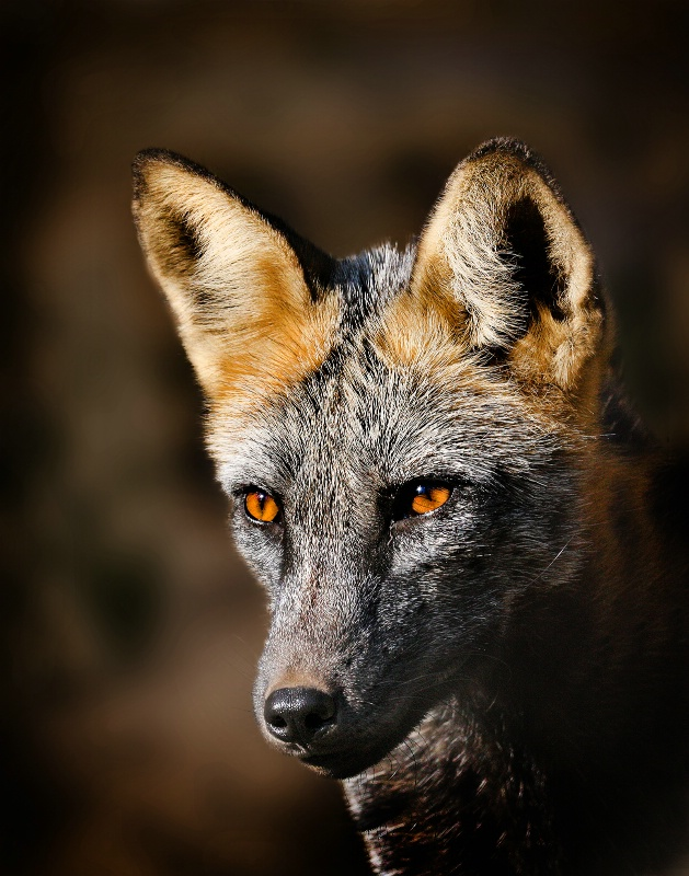 Portrait of a Fox - ID: 11085781 © Kathy Reeves
