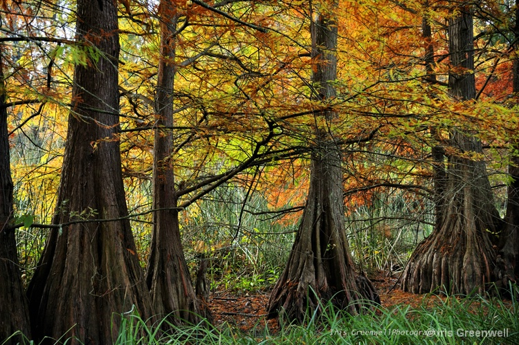 Cypress Trees In Autumn