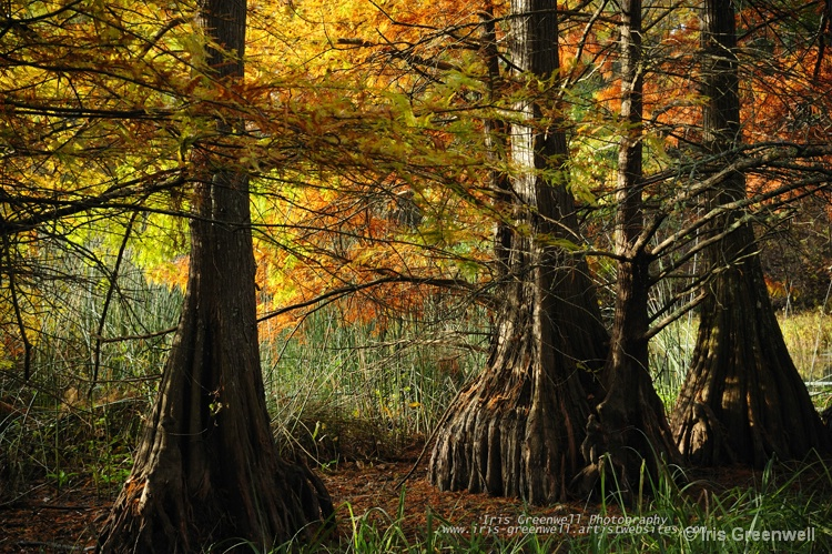Cypress Trees Splendor