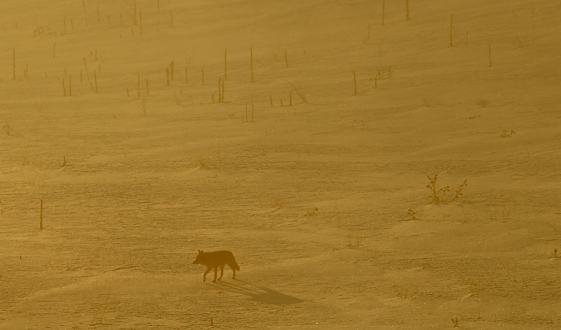 Lone Coyote - ID: 11097343 © Kelly Pape